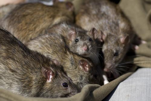 Rat Proofing West Palm Beach