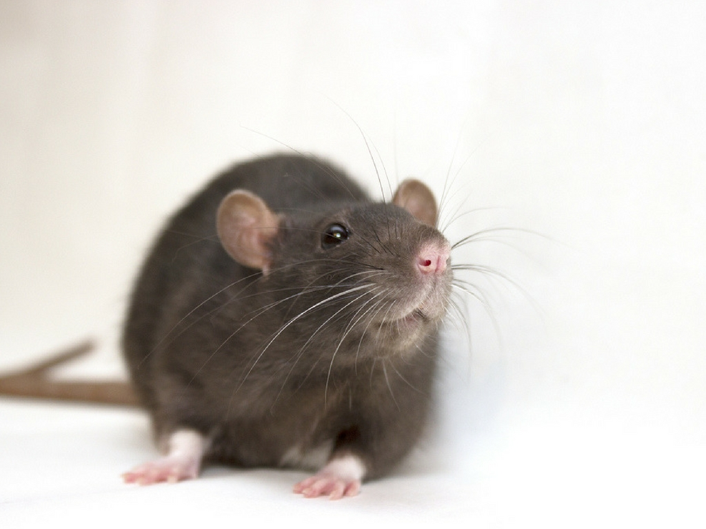 Cc Orlando Commercial Rat Removal May Critter